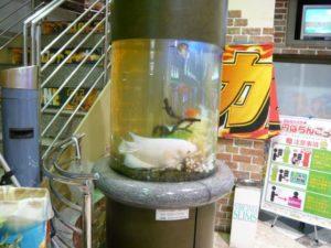 パチンコ店様 珍しい象耳魚が泳ぎます